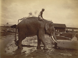 Elephant at work [Rangoon] 88121